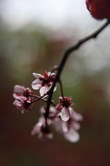 Blossom, Beijing (NovemberAlex) Tags: china flowers colour blossom bokeh beijing flowercloseup