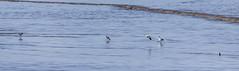 Avocet (34) (Mal.Durbin Photography) Tags: nature birds newport naturereserve newportwetlands maldurbin goldcliffnewport