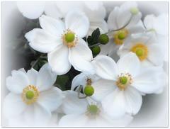 Anemone (Stella VM) Tags: flowers white flower garden anemone