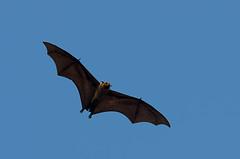 Flying fox (Chalto!) Tags: holiday asia bat srilanka ceylon flyingfox fruitbat indianflyingfox cynopterussphinx greatershortnosedfruitbat shortnosedindianfruitbat thalawawulaa