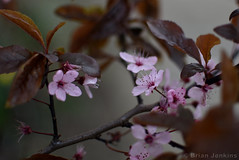 Pink Flowers (HDR) (Bri_J) Tags: park uk pink flowers plant nikon sheffield yorkshire botanicalgardens hdr southyorkshire d7200