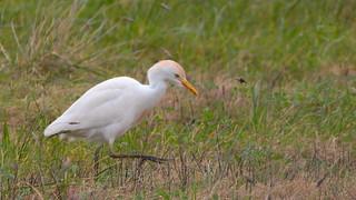 Carraceiro (Garça boeira) - Bubulcus ibis - Cattle Egret