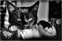 Contemplation (Andy J Newman) Tags: portrait bw nikon kitten bandw pickle d7100 silverefex