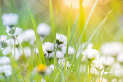 Summer Meadow 4 (juergen_skaa) Tags: summer sun its sunshine spring blossom sony meadow bloom summertime finally springtime dasy 100mmmacro 100mmf28 meddow bestcaptureaoi sonya7m2 sonya7ii