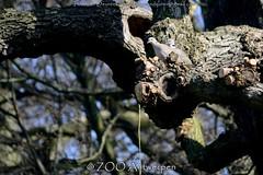 Turkse tortel - Streptopelia decaocto - Eurasian Collared Dove (MrTDiddy) Tags: bird zoo dove antwerp eurasian antwerpen vogel zooantwerpen collared turkse duif tortel streptopelia decaocto