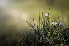 _IMG8561_1 (Robert Björkén (Hobbyfotograf)) Tags: flower dof pentax bokeh 135mm k1 k3 samyang bluebelle blåsippa