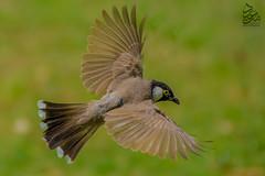Arabian Bulbul (Saeed Lajami) Tags: birds nikon wildlife arabian saudiarabia dhahran bulbul