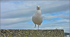 Anyone seen my foot !!! (Kath Williams(interesting)) Tags: nature birds wales seagull gulls
