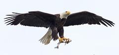 Fish, it's what's for dinner ! (zarb67) Tags: canon fishing eagle bass raptors birdsofprey americanbaldeagle birdinflight 2016 northeastohio 1dx pinelakeeagles 600mmf4lisii14xiii avianflightshot