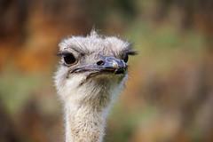 Avestruz - Ostrich (Eduardo Valdivia) Tags: ostrich avestruz cantabria cabrceno cabrcenos