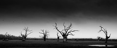 The Birds (TS446Photo) Tags: camera wood bw plants white storm black blur tree bird me monochrome forest dead puddle mono fly leaf pond oak woods nikon moody farm pano wildlife haunted creepy crow essex baron d800 petrified spook salted