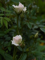(nofrills) Tags: flowers white plant flower green rose whiteflower flowerbed miniaturerose whiteflowers  babypink