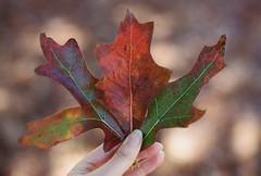 Colours of Autumn (Katie Tarpey) Tags: autumn film leaves 35mm kodak bokeh depthoffield autumncolours nikonfm10 kodakportra400 nikkor50mm14