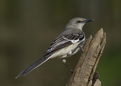 Northern Mockingbird (AllHarts) Tags: ngc npc northernmockingbird memphistn backyardbirds naturescarousel