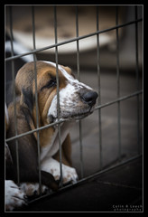 Waiting for Godot (WibbleFishBanana) Tags: dog puppy hound basset