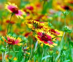 DSC_0067e ~ Wildflowers & Bees (BDC Photography) Tags: usa nikon texas nikond200 pipecreek nikonafnikkor180mmf28difedlens bw72ekr1511xfilter