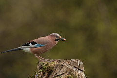 Jay (Colin Rigney) Tags: ireland bird nature garden outside outdoors jay wildlife ngc peanut gardenbirds irishwildlife canoneos7d enniskerrycowicklow colinrigney