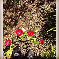 The Squirrels Left These (opal c) Tags: red standing tulips surprise bluff springblooms