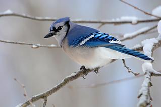 040 - Blue Jay