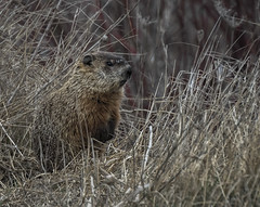 _DSC4506-Edit (doug.metcalfe1) Tags: ontario nature spring outdoor groundhog keswick 2016