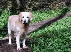 _mir stinkts !!! (SpitMcGee) Tags: dog goldenretriever duke 63 explore hund spaziergang bärlauch spitmcgee