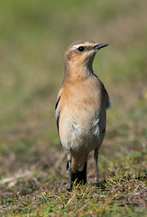 Wheatear (ijw20032000) Tags: scilly stmarys peninnis