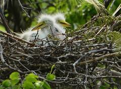 Great White Egret Nest (Jeff Clow) Tags: texas egretsbirdsnature