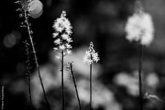 Tristesse printanire 4 (Pierre Fauquemberg) Tags: blackandwhite bw nature fleurs nikon noir noiretblanc sigma sombre printemps spleen plantes tristesse douleur lesfleursdumal phmre monotonie sigma35mmart sigmaart35mm14 pierrefauquemberg