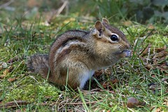 North American Chipmunk (Henrietta Oke) Tags: wild brown ontario macro cute nature animal closeup mammal rodent spring nikon wildlife chipmunk mm nikond700 nikkor20005000mmf56
