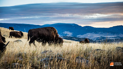 2015 09 Fine Art - The National Parks 21 Yellowstone - Lamar Valley Bison Sunrise (Deremer Studios) Tags: desktop sunset wallpaper nature birds closeup night landscape photography wildlife grandcanyon unitedstatesofamerica fineart scenic arches astrophotography yellowstonenationalpark yellowstone rockymountains hd wyoming grandtetons nationalparks rare desktopwallpaper 1080p deremerstudios