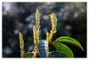 Cherry laurel (leo.roos) Tags: spring buds lente a7 knoppen cherrylaurel prunuslaurocerasus enlargerlens enlarging darosa squarebokeh meoptabelar5045 leoroos commonlaurel vergroterlens vergrotingslens 2bladediris japanselaurierkers