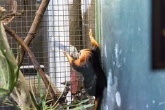 20160113-110016_WashingtonDC_D7100_1181.jpg (Foster's Lightroom) Tags: washingtondc smithsonian us washington districtofcolumbia unitedstates northamerica museums zoos primates goldenliontamarin tamarins smithsoniannationalzoologicalpark us20152016