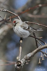 1.30821 Sizerin blanchtre / Acanthis hornemanni hornemanni / Hoary Redpoll (Laval Roy gone birding to MX till mid-may) Tags: birds canon quebec aves oiseaux passeriformes hoaryredpoll carduelishornemanni noflashused fringillids eos7d sizerinblanchtre acanthishornemanni comtdeportneuf ef300mm14lisextender14xiii lavalroy