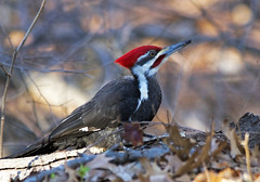 Pileated woodpecker with bug (Bob Gundersen) Tags: usa tree birds animal outside photo interesting woodpecker nikon flickr exterior image shots outdoor hiking connecticut country shoreline picture feather newengland ct sigma scene explore trail scenes external gundersen guilford conn pileatedwoodpecker nikoncamera d600 nikond600 sigma150500mmlens bobgundersen robertgundersen