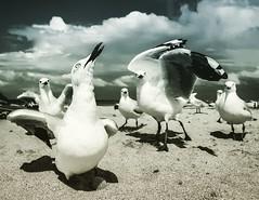 Strike a pose! (Darren Glazer) Tags: beach coast seagull central sydney samsung shelly birdlife