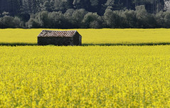 EL PLA DE SANT JOAN (Joan Biarns) Tags: paisaje catalunya barraca groc 196 paisatge colza valldellmena girons pladesantjoan santmartdellmena panasonicfz1000