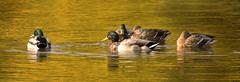 Day Into Night (Vidterry) Tags: sundown ducks magichour goldenhour mallards