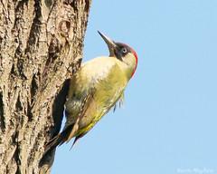 Green Woodpecker_82A6161 (kevinmayhew62) Tags: picusviridis greenwoodpecker