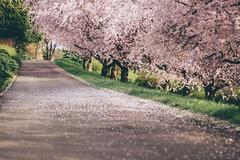 In Full Blossom (freyavev) Tags: pink trees green germany way deutschland 50mm petals shadows blossom path blossoms depthoffield cherryblossoms leonberg badenwürttemberg vsco
