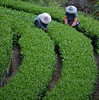 Alishan, Tainan (Lost in Kaohsiung) Tags: mountain taiwan curve teaplantation alishan teapickers