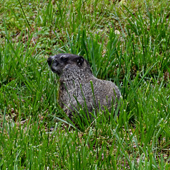 Groundhog or Woodchuck or Whistlepig (timpeartrice) Tags: spring woodchuck groundhog arkansas ozarks fayetteville whistlepig washingtoncounty lakefayetteville clearcreektrail