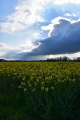 Fidlit (v.heldenbergh) Tags: champs pluie nuage colza herstal