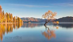 Autumn Gold (Beth Wode Photography) Tags: autumn newzealand lake sunrise dawn daylight beth nz jetstar wanaka lakewanaka sunup willowtree autumngold wode bethwode wanakatree