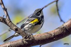 Yellow-rumped Warbler Male (Myrtle) (jt893x) Tags: male bird nikon sigma myrtle warbler yellowrumpedwarbler 150600mm d7200 setophagacoronata sigma150600mmf563dgoshsms