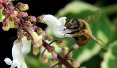 Abeja en la flor. (jagar41_ Juan Antonio) Tags: abejas insectos animal abeja insecto