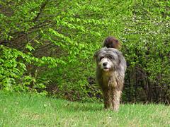 (Alin B.) Tags: hairy dog nature animals spring alinbrotea