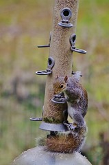 Checking for witnesses (Sundornvic) Tags: bird squirrel nuts feeder seeds feed robbery stealing