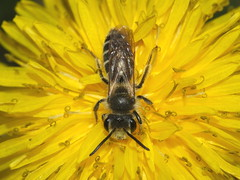 Super Macro  Small Solitary Bee Feeding On A Dandelion Flower DSCF8954 (Ted_Roger_Karson) Tags: camera winter macro animal bug insect lens illinois eyes fuji hand outdoor super dandelion bee fujifilm hd held northern solitary twop m150 raynox macroscopic raynoxdcr150 backyardfriends dcr150 handheldcamera xs1 thisisexcellent macrolife fujifilmxs1