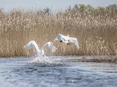 Bumpy start (katrin glaesmann) Tags: bird feet reed water animal muteswan cygnusolor splashes havelland hckerschwan garz