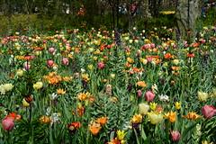 (yhshangkuan) Tags: flower holland amsterdam spring tulip  2016  apr21 keukenholf